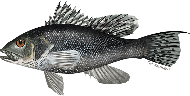Black Sea Bass Species and Sustainability