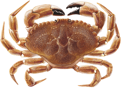 Jonah Crab (Claws) Species and Sustainability